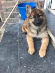 Maya - Male German Shepherd Dog (3 months)