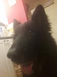 Rocky - Male German Shepherd Dog (Other)