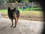 Tupit - German Shepherd Dog (1 year)