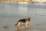 Grundy - Male German Shepherd Dog (11 months)