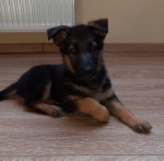 Chiot femelle berger allemand - German Shepherd Dog (2 months)