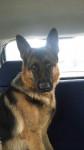 Jara - German Shepherd Dog (4 years)