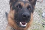 Mavrick - Male German Shepherd Dog (2 years)