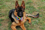 Pavel - Male German Shepherd Dog (5 months)