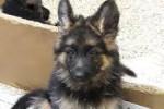 Belle - German Shepherd Dog (1 month)