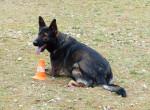 Zaro vom Friedrichsfelder Eck - Male German Shepherd Dog (1 year and a half)