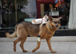 pilou - Male German Shepherd Dog