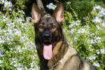 German Shepherd Dog picture
