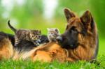 Un Berger Allemand allongé dans l'herbe avec deux chatons sur son dos