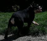 Godzilla - Bulldog Anglais exotique SHRINKABULLS - Male Bulldog (1 year and 2 months)