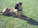 Topless atlantic dream's - Bullmastiff