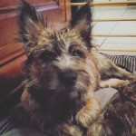 Mac (de Dame Nature) - Male Cairn Terrier (5 months)