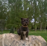 Fox - Male Cairn Terrier (3 years)