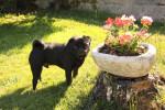 Dog carlin Byron - Pug  (0 months)