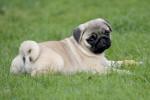 Pug picture