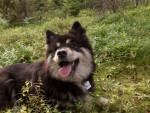 Kira - Finnish Hound (2 years)