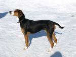 Finnish Hound picture