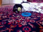 Jimi 1 - Male Stabyhoun (2 years)