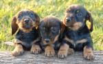perritos - Stabyhoun (1 month)