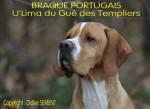 BRAQUE PORTUGAIS - U'Lima du Gué des Templiers - Portuguese Pointer
