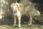Henna, chien de l'Atlas ou Aïdi - Aidi