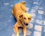 Henna, chien de l'Atlas - Aidi