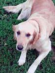 sheila - Otterhound (7 years)