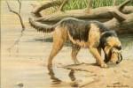 Otterhound picture