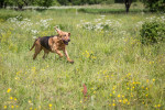 Bloodhound picture