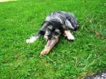 Bonnie - Dandie Dinmont Terrier (11 months)