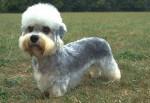 Dog - Male Dandie Dinmont Terrier (2 years)