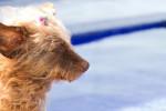 Dandie Dinmont Terrier (16 years) picture