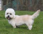 Dandie Dinmont Terrier picture