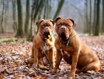 Bordeaux Mastiff picture