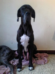 Osiris - Great Dane (3 years and 4 months)