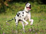 Un Dogue Allemand noir et blanc court dans un jardin