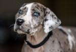 Un Dogue Allemand merle aux yeux bleus