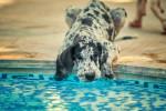 Un Grand Danois au pelage merle boit l'eau d'une piscine