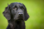 Blue Picardy Spaniel picture