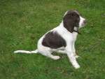 epagneul francais gamine - French Spaniel