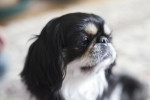 Japanese Chin picture