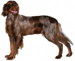 Picardy Spaniel picture