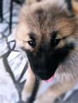 Maîkan - Male Eurasier (6 months)