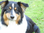 Oly-Days dit Saphy - Australian Shepherd (7 months)