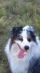 ICE - Male Australian Shepherd (5 years)