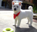 Kishu (2 months) picture