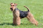 Lakeland Terrier picture