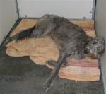 Lila - Scottish Deerhound (7 years)