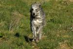 Waljan - Male Scottish Deerhound