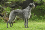 Karrie - Scottish Deerhound
